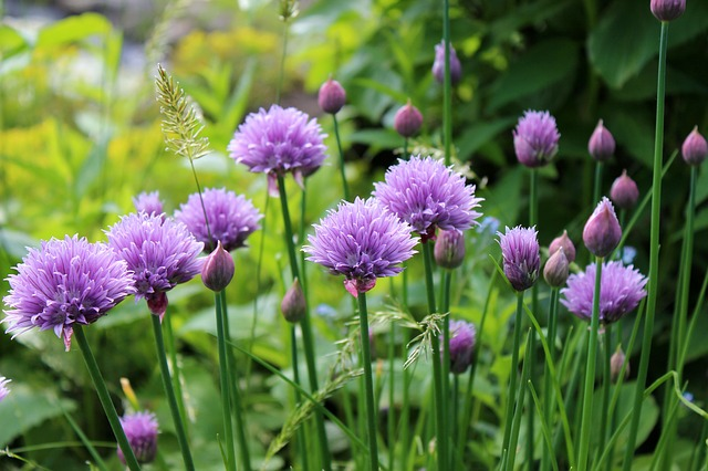 Growing chives is great to fight of slugs and they are delicious