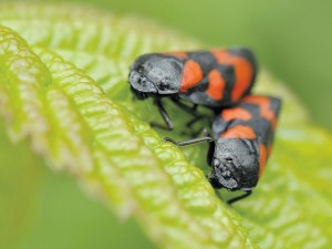 Flea beetles are a common type of garden pests.