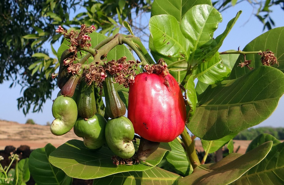 Cashew apples are the fruit cashew nuts come from.