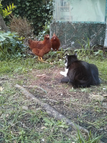 Our cats get along perfectly with the hens and even protect them from other curious cats and animals.