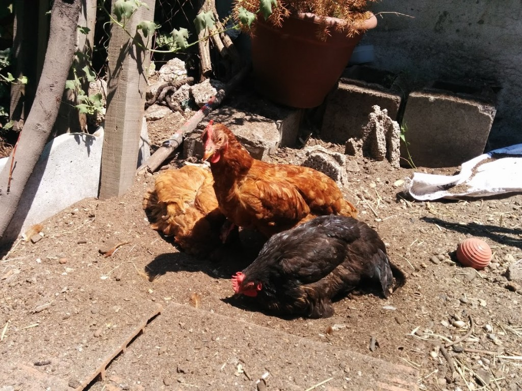 Here she is taking a dirt bath with her fellow hens.