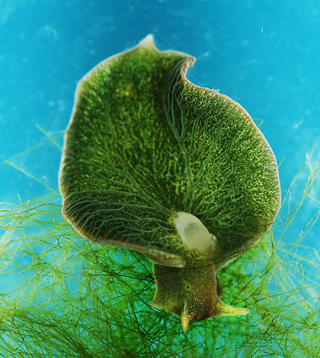 Green sea slug that absorbs light.