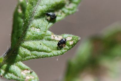 Flea beetle are horrible nibblers.
