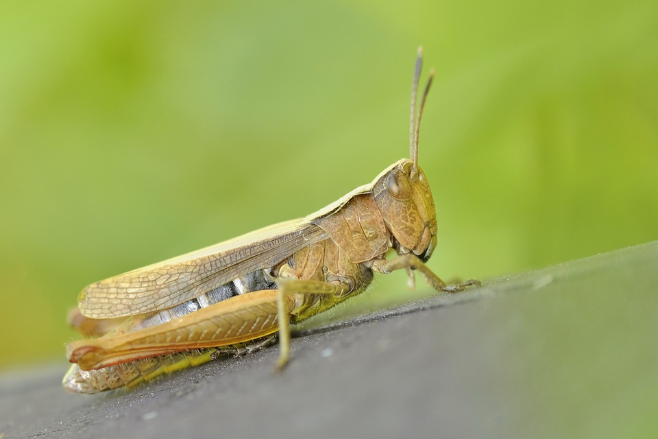 Grasshoppers are huge insects, no wonder they eat a lot.