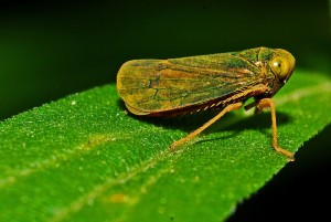 There are so many types of leafhoppers that some are actually beautiful and really awesome.
