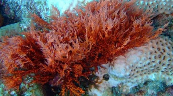 Red algae are rather common underwater.