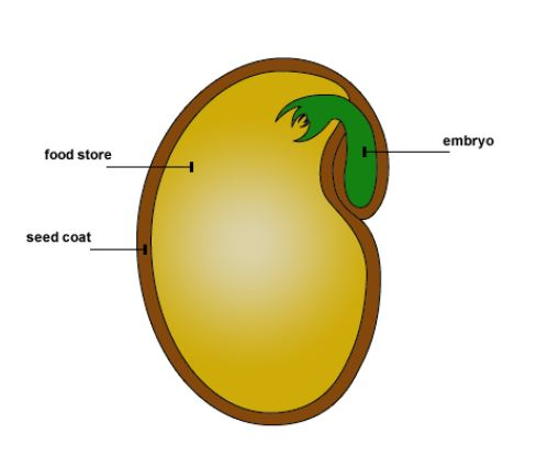 A seed is made up of three major parts
