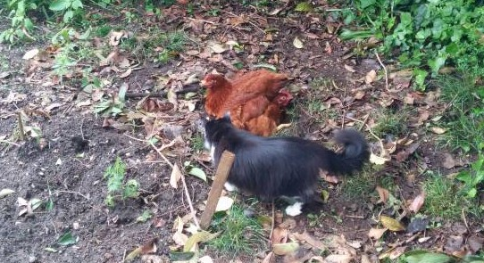 Chickens get alogn perfectly with other pets.