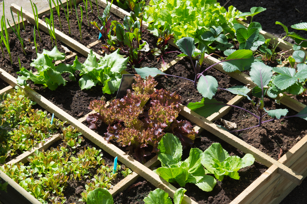 Vegetable gardening in raised square foot divided beds.