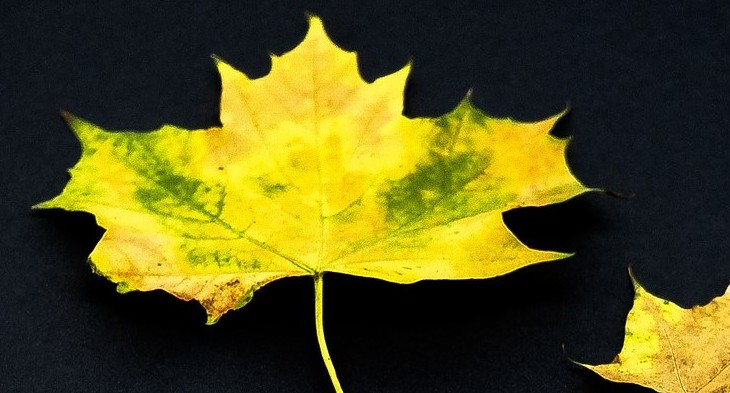 Leaves become yellow naturally in autumn before falling.
